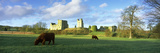 Highland Cattle Grazing in a Field  Helmsley Castle  Helmsley  North Yorkshire  England