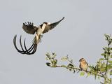 Pin-Tailed Whydah (Vidua Macroura) Landing  Tanzania
