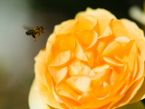 Bee Hovering over a Yellow Rose  Beverly Hills  Los Angeles County  California  USA