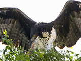 Martial Eagle (Polemaetus Bellicosus) with a Kill  Kenya