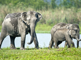 Asian Elephants (Elephas Maximus) at the Riverside  India