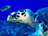 Close-Up of a Hawksbill Turtle (Eretmochelys Imbricata) Underwater
