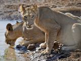 Lions (Panthera Leo) Drinking Water at a River  Kenya