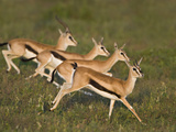 Thomson&#39;s Gazelle (Eudorcas Thomsonii) Running on the Grass  Tanzania