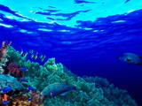 Underwater View of Longfin Bannerfish (Heniochus Acuminatus) with Red Firefish (Nemateleotris Ma