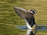 Wood Duck (Aix Sponsa) Spreading Wings  California  USA