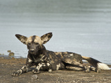 African Wild Dog (Lycaon Pictus) Lying at Riverside  Tanzania