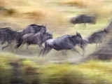 Herd of Wildebeests Running  Tanzania