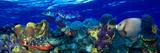 Stoplight Parrotfish (Sparisoma Viride) with a Hawksbill Turtle (Eretmochelys Imbricata) Underwater