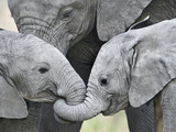 African Elephant Calves (Loxodonta Africana) Holding Trunks, Tanzania Papier Photo