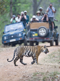 Tourists in Safari Jeeps Photographing an Bengal Tiger (Panthera Tigris Tigris)  India