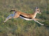 Thomson's Gazelle (Eudorcas Thomsonii) Running  Tanzania