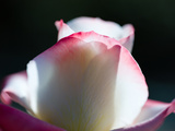 Close-Up of a Pink and White Rose  Beverly Hills  Los Angeles County  California  USA