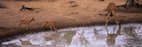 Impalas (Aepyceros Melampus) and a Giraffe at a Waterhole  Mkuze Game Reserve  Kwazulu-Natal  So