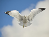 Ring Billed Gull (Larus Delawarensis) in Flight  California  USA
