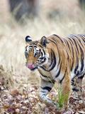 Bengal Tiger (Panthera Tigris Tigris) in a Forest  India