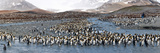 King Penguins (Aptenodytes Patagonicus) Colony  St Andrews Bay  South Georgia Island