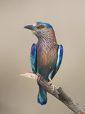 Close-Up of an Indian Roller (Coracias Benghalensis)  India