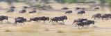 Herd of Wildebeests Running in a Field  Tanzania