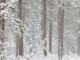 Snow Covered Ponderosa Pine Trees in a Forest  Indian Ford  Oregon  USA