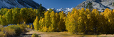 Quaking Aspens (Populus Tremuloides) in Autumn  Californian Sierra Nevada  Bishop  California  USA