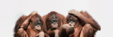 Close-Up of Three Orangutans