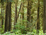 Trees in a Forest  Quinault Rainforest  Olympic National Park  Washington State  USA
