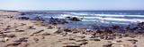 Elephant Seals on the Coast  Big Sur  California  USA