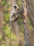 Hanuman Langur (Semnopithecus Entellus) on a Tree  India