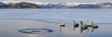 Whooper Swans (Cygnus Cygnus) on Frozen Lake  Lake Kussharo  Akan National Park  Hokkaido  Japan