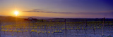 Vineyard at Dusk  Val D'Orcia  Siena Province  Tuscany  Italy