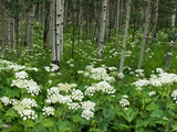 Yarrow and Aspen Trees Along Gothic Road  Mount Crested Butte  Gunnison County  Colorado  USA
