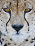 Close-Up of a Cheetah (Acinonyx Jubatus)  Tanzania