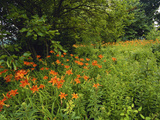 Day Lilies Growing Along Edge of Woods  Louisville  Kentucky  USA