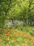 Day Lily Flowers Growing Along Little Pigeon River  Great Smoky Mountains National Park  Tennessee