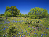 Oak and Mesquite Tree with Bluebonnets  Low Bladderpod  Texas Hill Country  Texas  USA