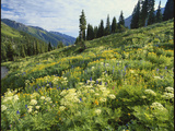 Cow Parsnip and Orange Sneezeweed Growing on Mountain Slope  Mount Sneffels Wilderness  Colorado