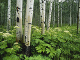 Cow Parsnip Growing in Aspen Grove  White River National Forest  Colorado  USA