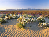 Flowers Growing on Dessert Landscape  Sonoran Desert  Anza Borrego Desert State Park  California