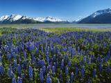 Lupine and Kenai Mountains  Kenai National Wildlife Refuge  Alaska  USA