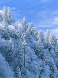 Snow Covered Trees in Forest  Newfound Gap  Great Smoky Mountains National Park  Tennessee  USA