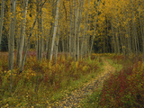 Footpath Through Autumn Aspen Trees  San Isabel National Forest  Colorado  USA