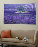 Lavender Fields  Vence  Provence  France