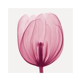 Tulips A (Positive)