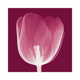 Tulips B (Negative)