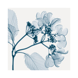 Hydrangeas - Positive (Left) Giclée par Steven N. Meyers