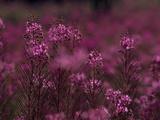 Close Up of Willow Herb Flowers  Epilobium Species