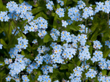 A Cluster of Forget Me Not Flowers  Myosotis Species  in Springtime