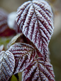 Hoar Frost Dusts an Autumn Leaf