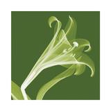 Lilies A (Negative)